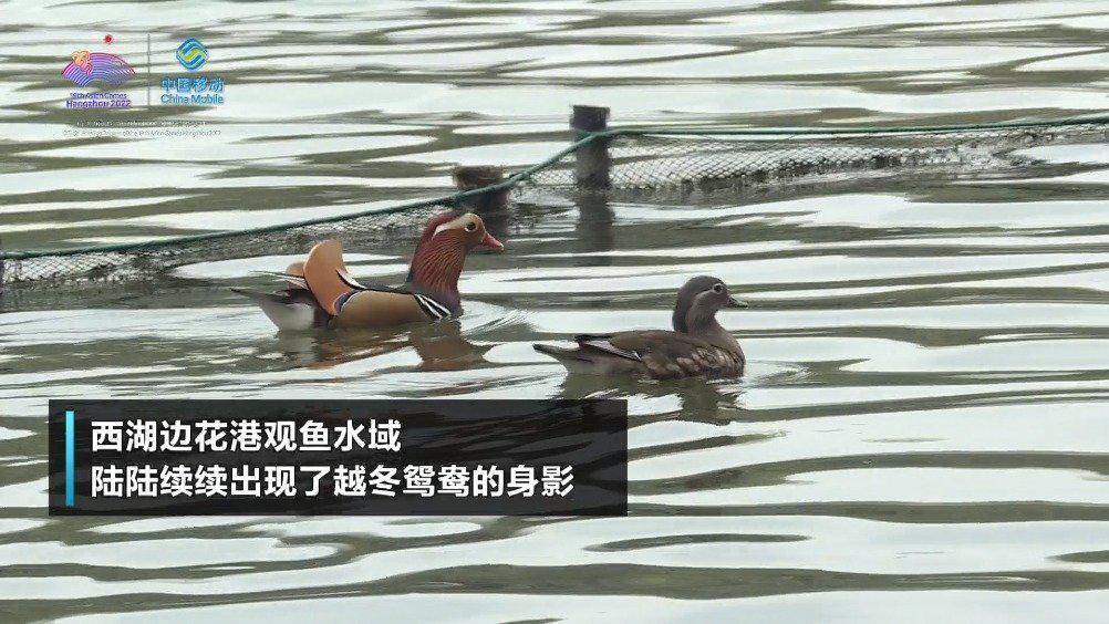 浙江 杭州西湖边越冬候鸟陆续来了