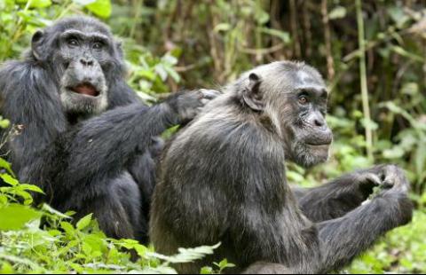 黑猩猩也会变成熟,年龄越大越成熟,但却意识不到死亡的临近