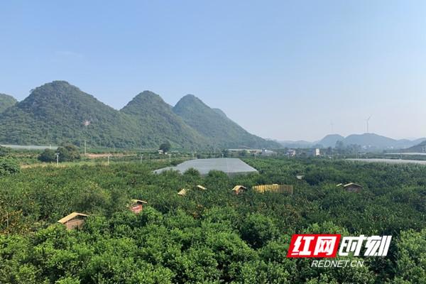 永州回龙圩:做足橘子大文章 精细农业出效益