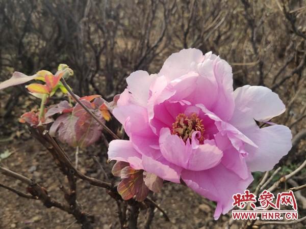 郑州西流湖公园牡丹深秋绽放 专家:天气原因牡丹误把秋天当春天