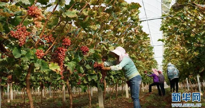 云南宾川:满园硕果枝头挂 葡萄园里忙丰收
