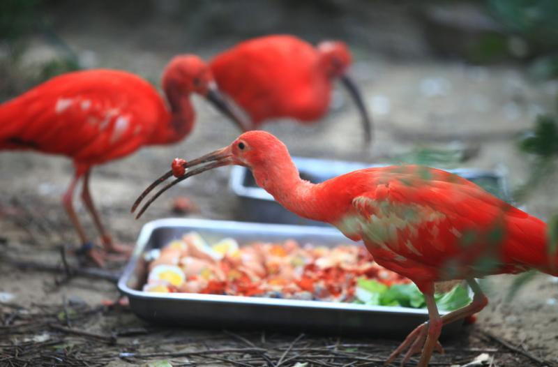 好消息 郑州市动物园美洲红鹮宝宝马上满月啦