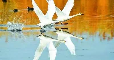 乌梁素海天鹅舞