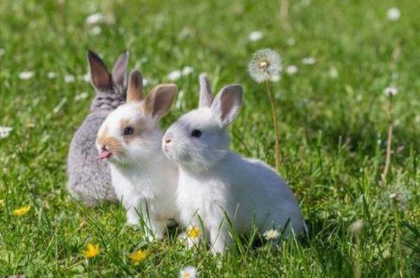 """""""福气兔""""过了57岁,家中有兔的一定要好好看看,尤其是63年的!"""