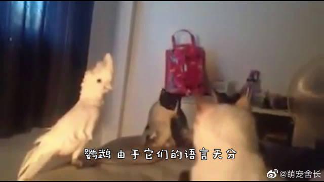 两只鹦鹉站在沙发上吵架,不过这斗嘴的方式,真是太逗了