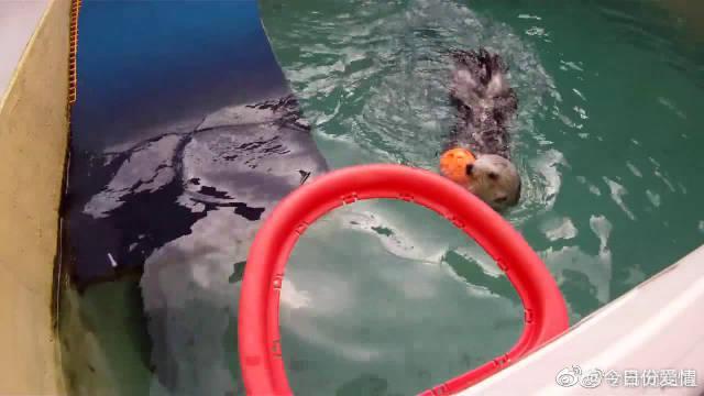 海獭有个篮球梦,水中投球玩得超级棒