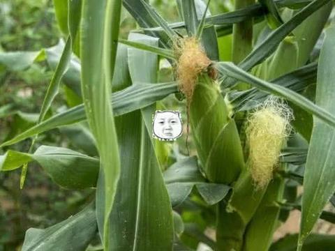 """男子在玉米地看到个""""小姐姐"""",走过去打招呼,走近后脸色变坏"""