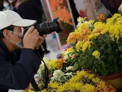 """视点 平谷开启""""菊花美食文化季"""" 300亩""""温室菊花""""绽放"""