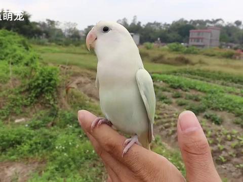 小鹦鹉飞上布条模仿走钢丝,这平衡力掌握的真好
