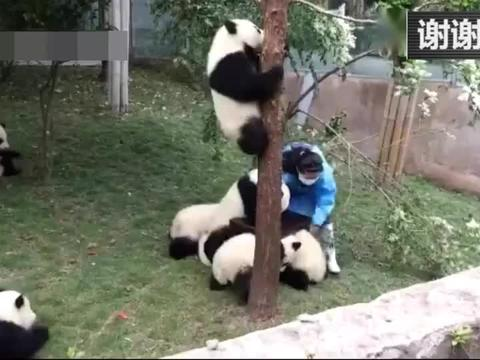 饲养员和熊猫抢一把凳子 结果被熊猫宝宝追了一条街!