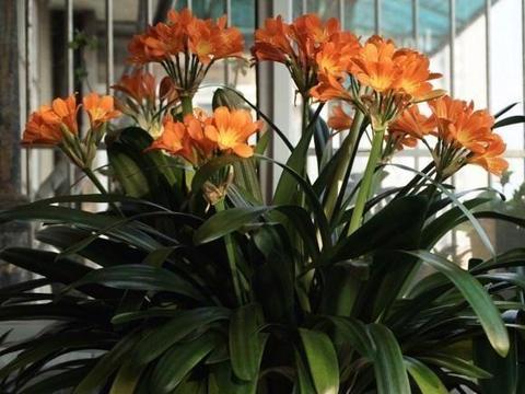 秋天君子兰买回家,教你全程养护,大白根呼呼长,开花成大花球