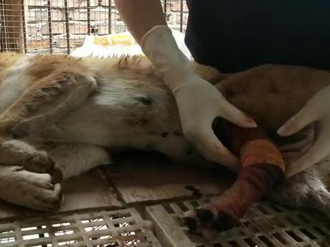 朋友养了多年的田园犬受伤,一家人看着都心痛,看主人是怎么做的