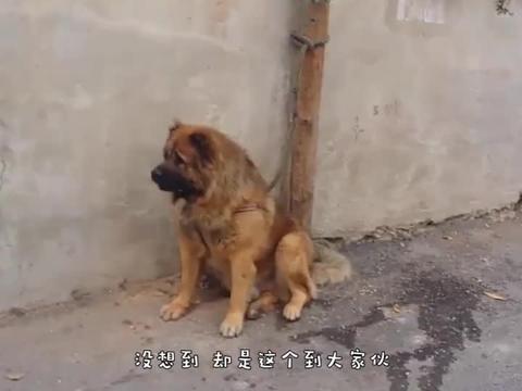 藏獒攻击过路男子,当男子拿出自己的宠物,藏獒立马就怂了