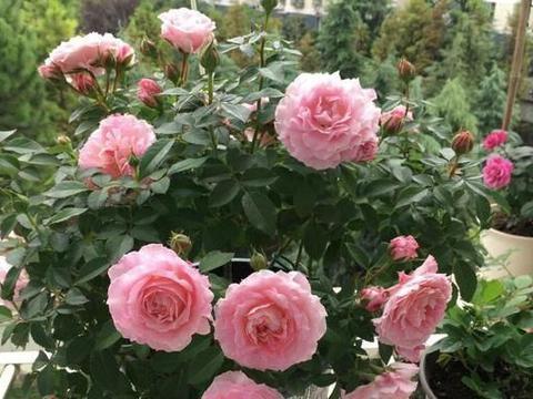 """冬天买""""4种""""常见花,有花苞就赶紧剪,否则难过冬、明年开花少"""