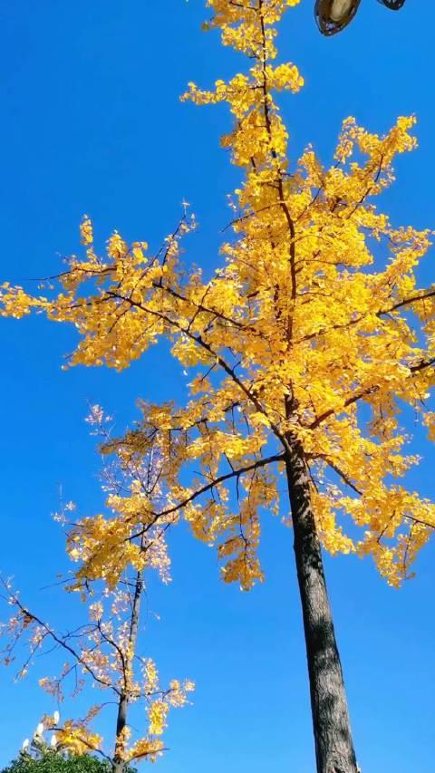 今天的昭通,天格外的蓝,银杏树格外的刺眼!