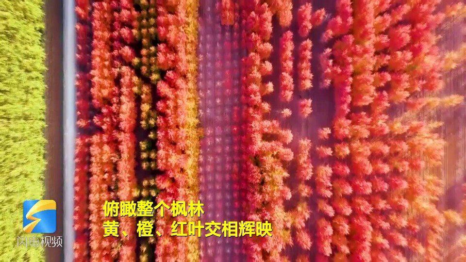 枫叶红满天!日照五莲3500亩枫林如燃烧的火焰 .齐鲁网