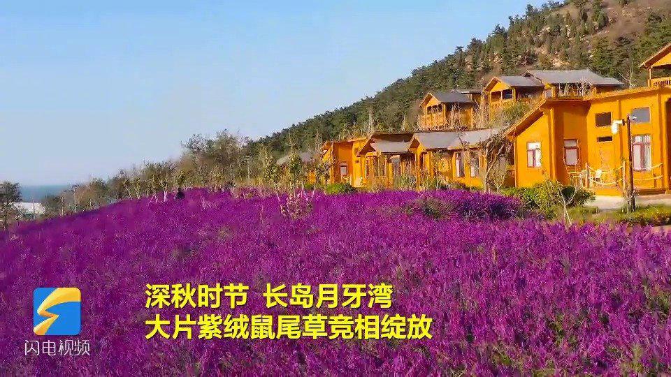 紫绒曼妙舞秋风 长岛月牙湾大片紫绒鼠尾草竞相绽放! .齐鲁网