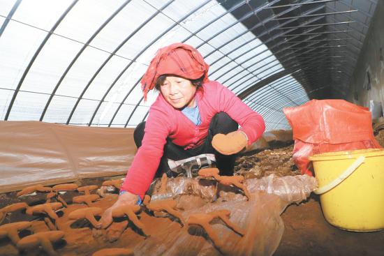 青海省首个富硒灵芝种植基地迎来丰收期