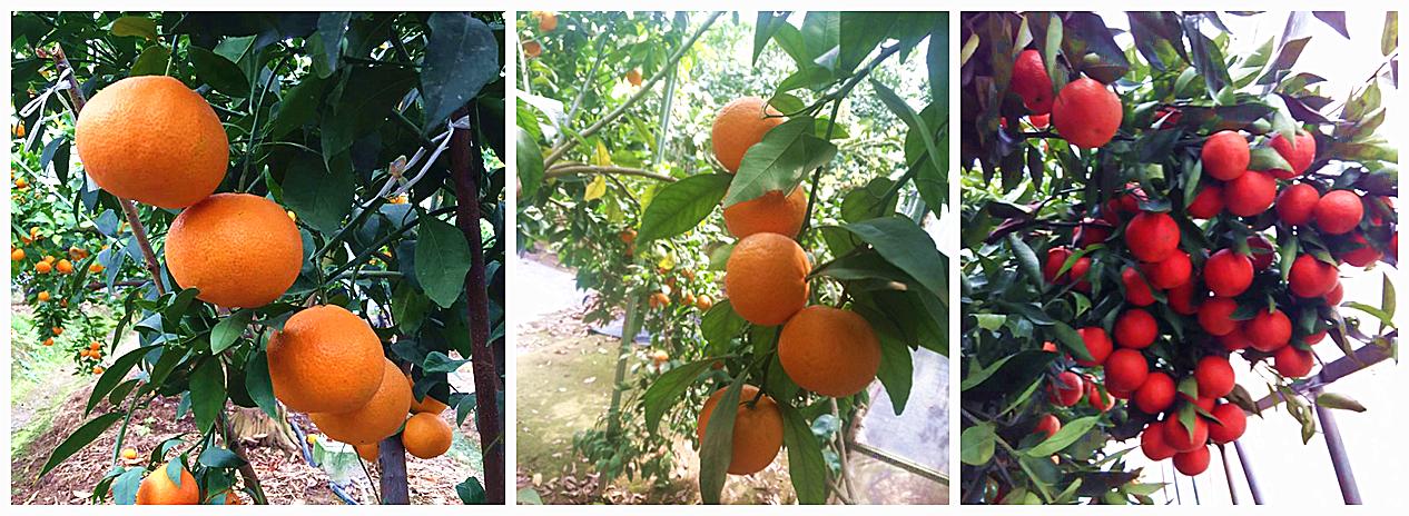 10月31日起上海柑橘进公园,超长梅雨会影响味道吗?