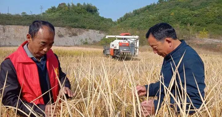 废弃矿山经过土壤修复,如今变成丰收稻田
