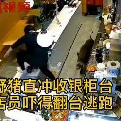 帮帮日记 | 吓坏了! 一野猪闯入奶茶店身手敏捷,表演跨栏