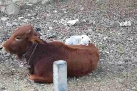 小狗狗熟睡在母牛背上,见到人来了只是微微睁开眼,萌翻路人