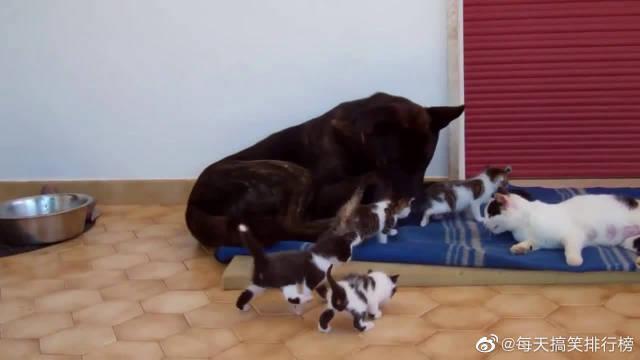 母猫生了一窝小猫,狗狗主动担起奶爸责任,用心带娃