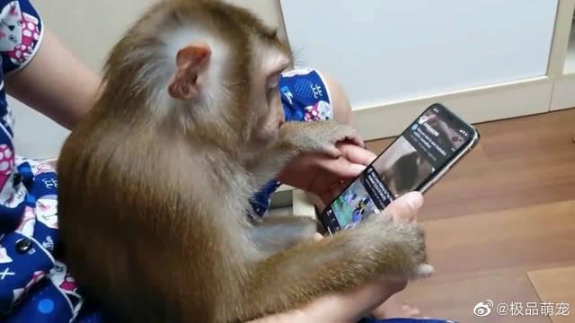 小猴子看手机视频,不想看了还懂得用手去划开,猴精猴精的