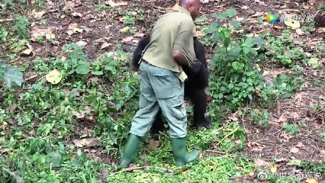 男子喂养了猩猩几年后,放生的大猩猩却对他依依不舍!