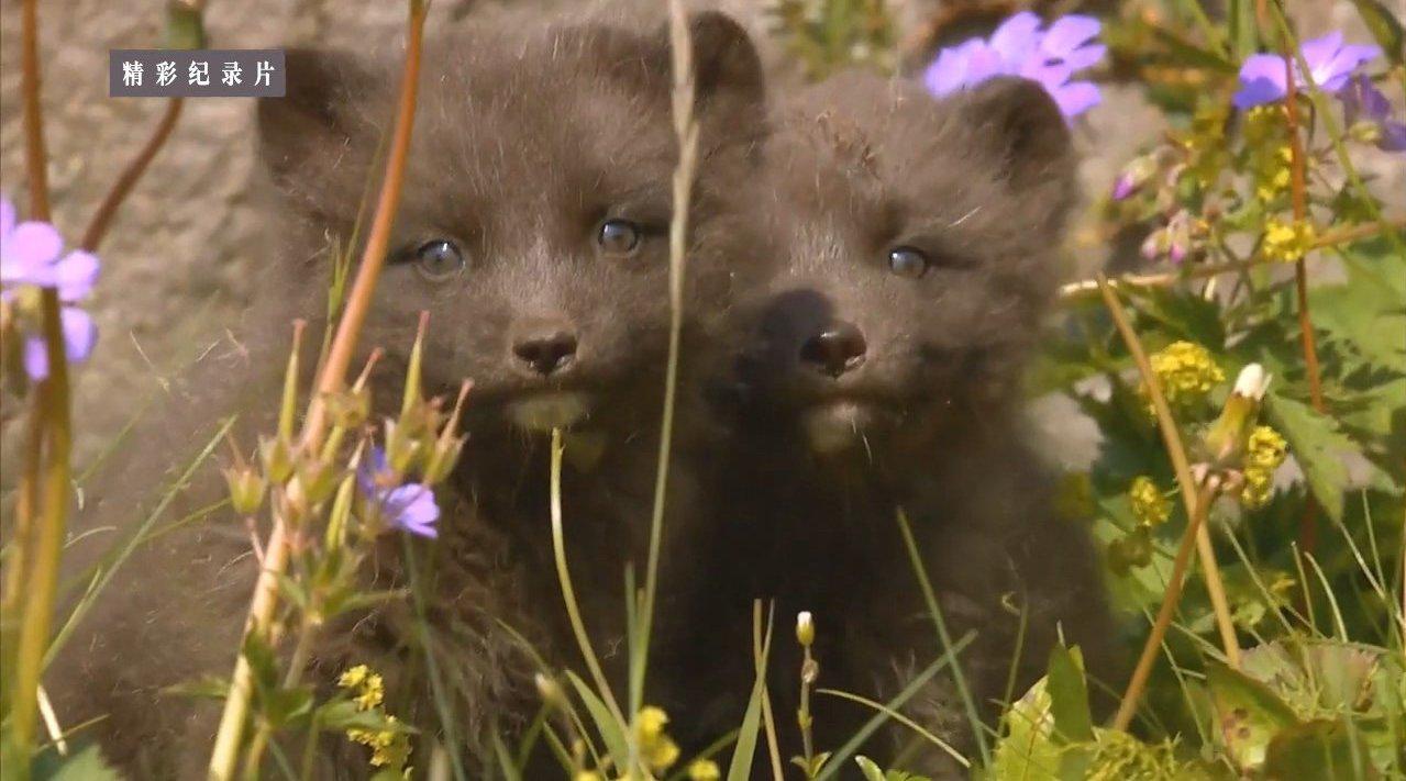 北欧野性风情录 1 北极狐的夏季 Nordic Wild 1 - The Arctic