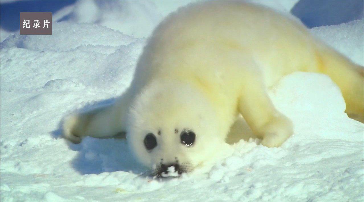 野性北极 1 之 春季冰海 Wildest Arctic 1 - The Icy Sea in