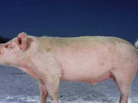 养猪人小心,当下养猪场要注意4件事,不注意容易出问题