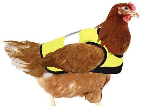 这两只穿着反光背心的宠物鸡平时很忙,不仅要除害虫还要当网红