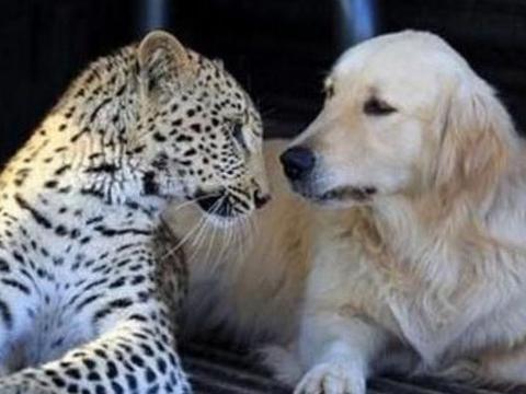 男子捡回一只小花豹让金毛帮忙喂养,长大后的花豹,却让人为难