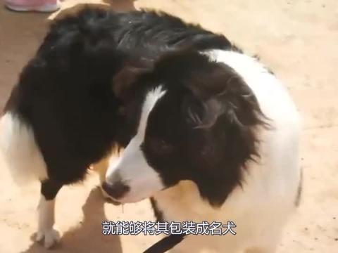 买小香猪当宠物,长成四十公斤的大肥猪,城管找上门:这算是家畜