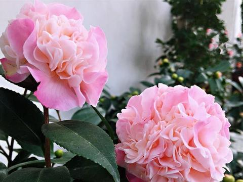 """比""""香水""""还好闻的茶花,花型似牡丹,养护简单,花迷们人手一盆"""