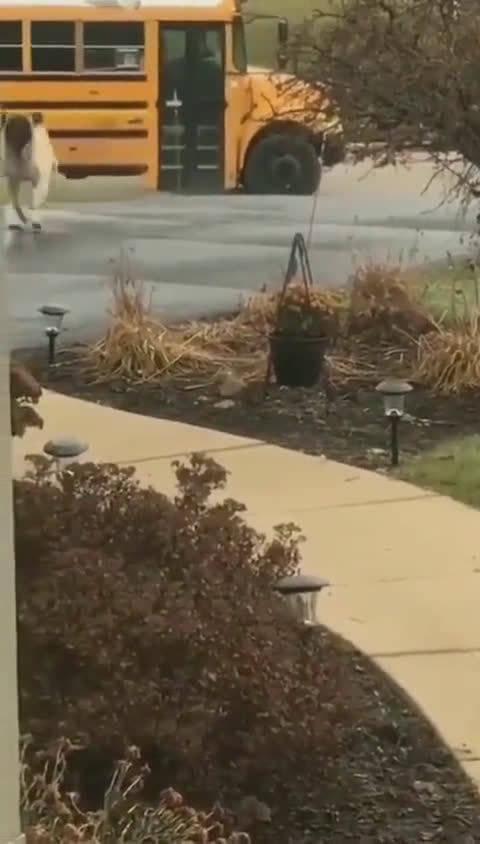 狗子每天在家门口陪宝宝等校车,等到校车开走才回家