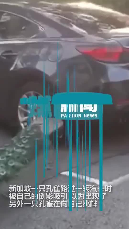新加坡一憨憨孔雀看到汽车中的倒影当场气炸