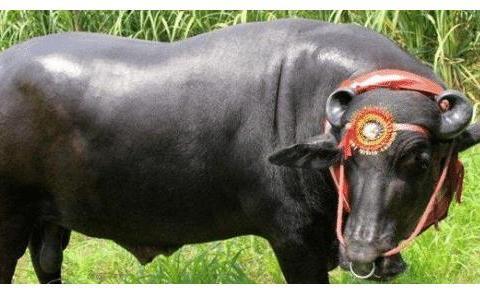身价2亿的印度神牛,母牛找它配一次种收费5万,每晚一杯威士忌