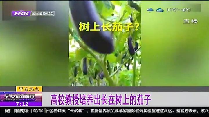 茄子长在树上?华农一教授培育出长在树上的茄子:一次种多年收