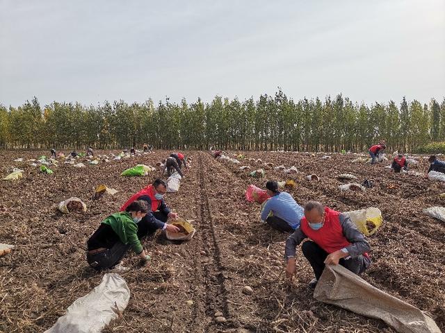新源县:5000亩紫皮土豆大丰收