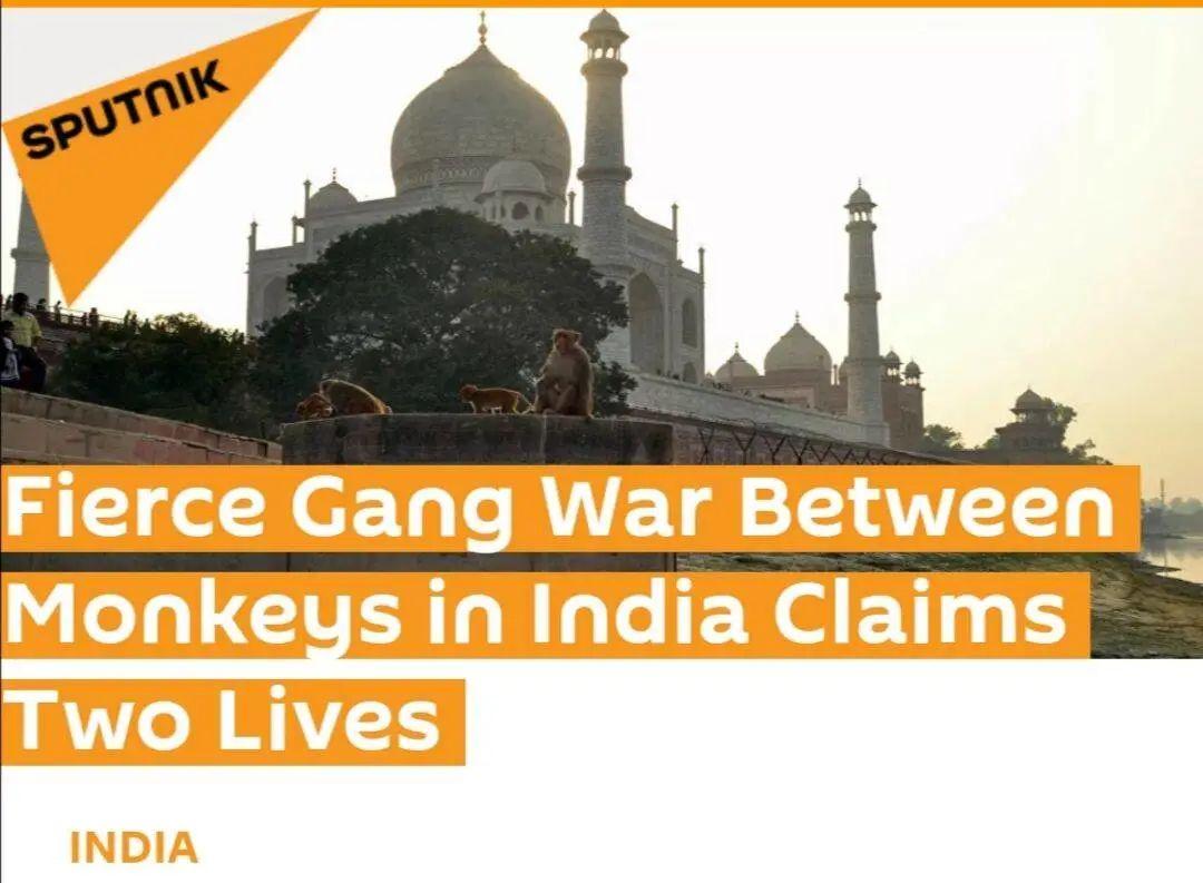 又一场由印度猴子引发的悲剧图片