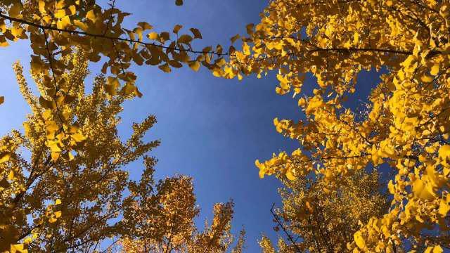 周游北京:银杏、秋色,奥林匹克森林公园