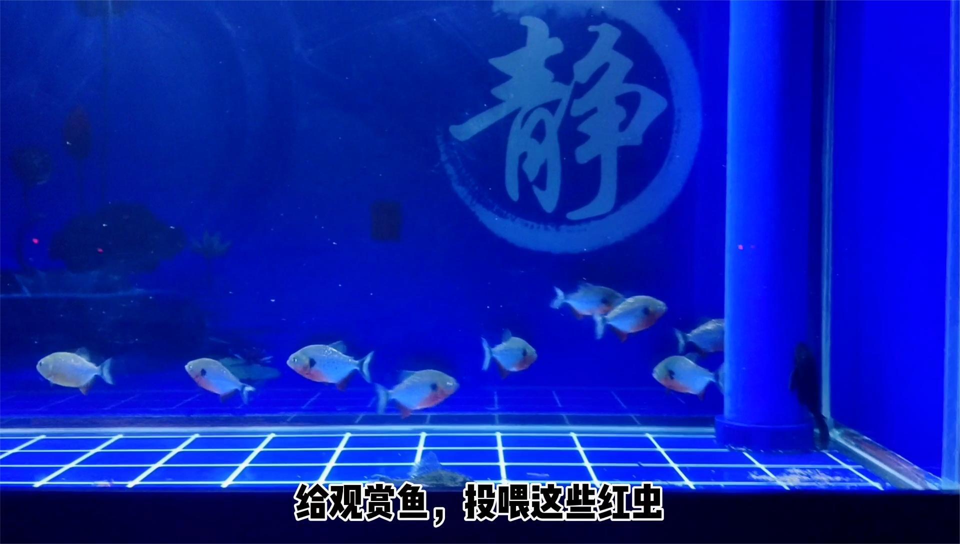 给观赏鱼投喂鱼食,需要停泵吗,停止时间过长能影响硝化系统吗?