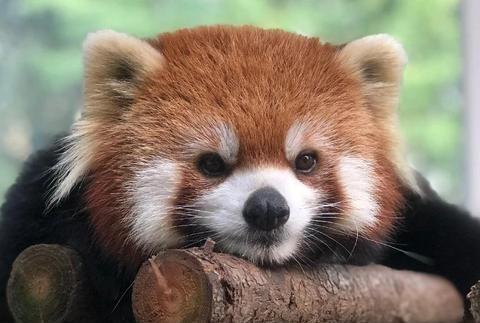 王城公园里人工饲养的小熊猫长大了,看看长什么样?