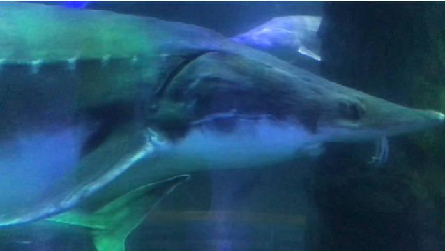 抚远市渔博馆里有一群大鳇鱼,大的足足有几百斤重……