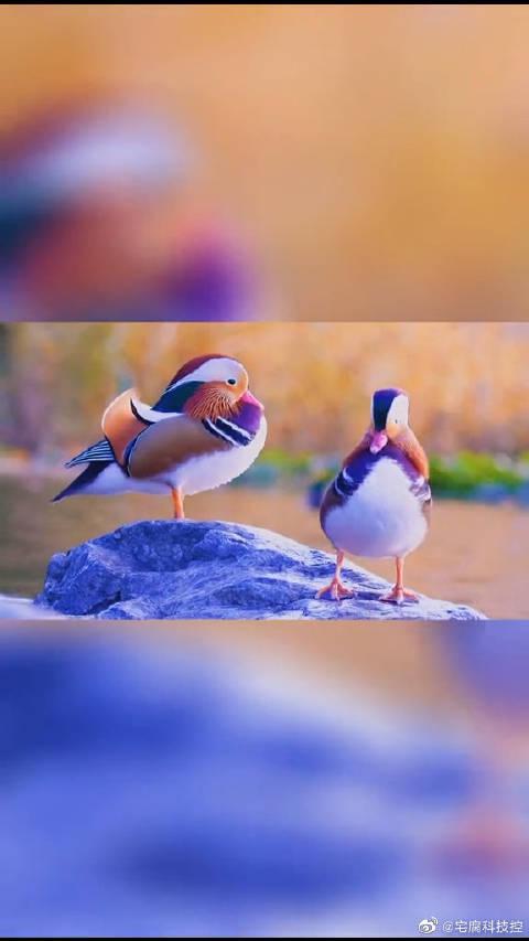 野生动物之美——鸳鸳梳妆来比美! 鸯鸯快来择佳婿!……