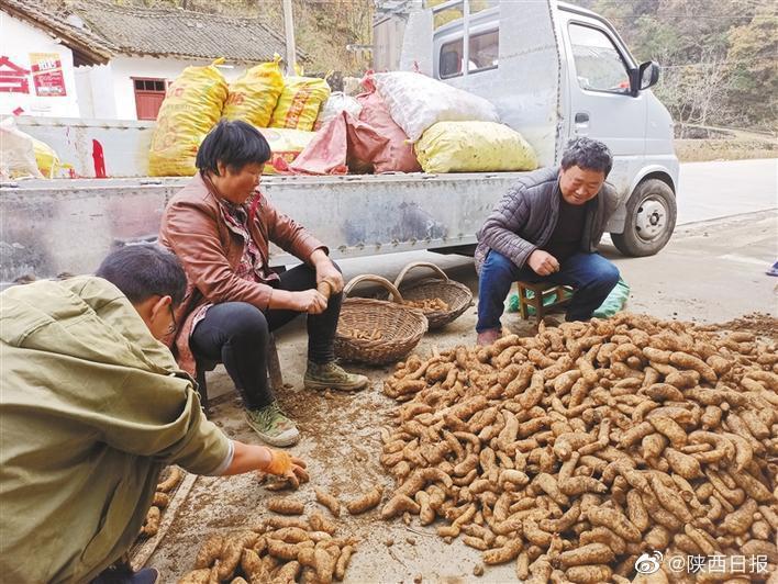 近日,在丹凤县龙驹寨街道油房村,村民忙着收天麻……