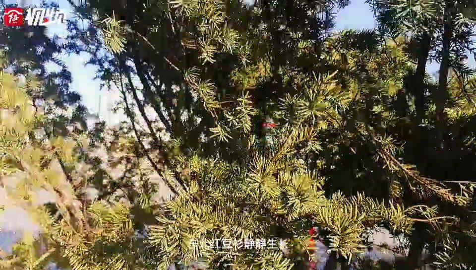 胜利广场上的红豆杉