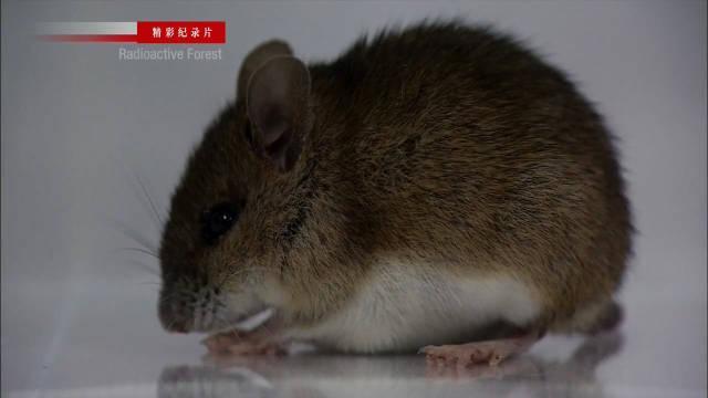 福岛辐射6个月后展开的遗传学研究!田鼠受到辐射的影响有多大?